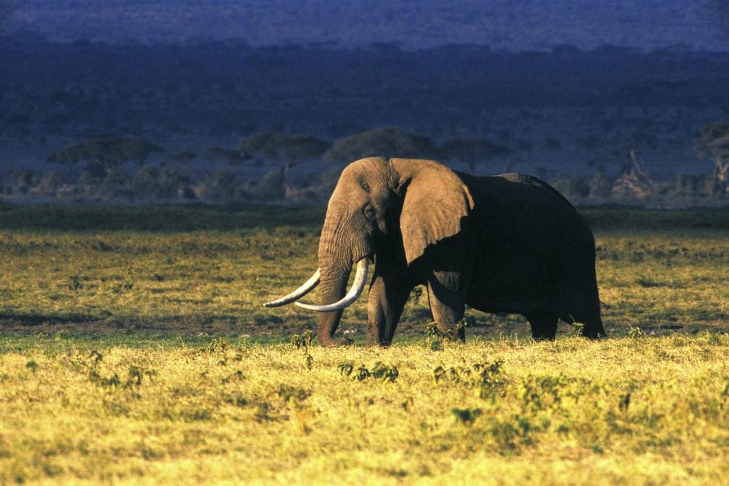animaux - Éléphant