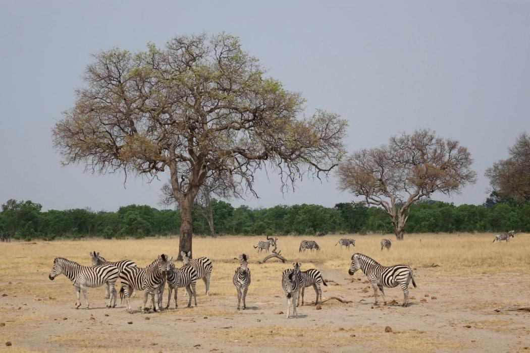 Zimbabwe Hangwe Little Makalolo 12