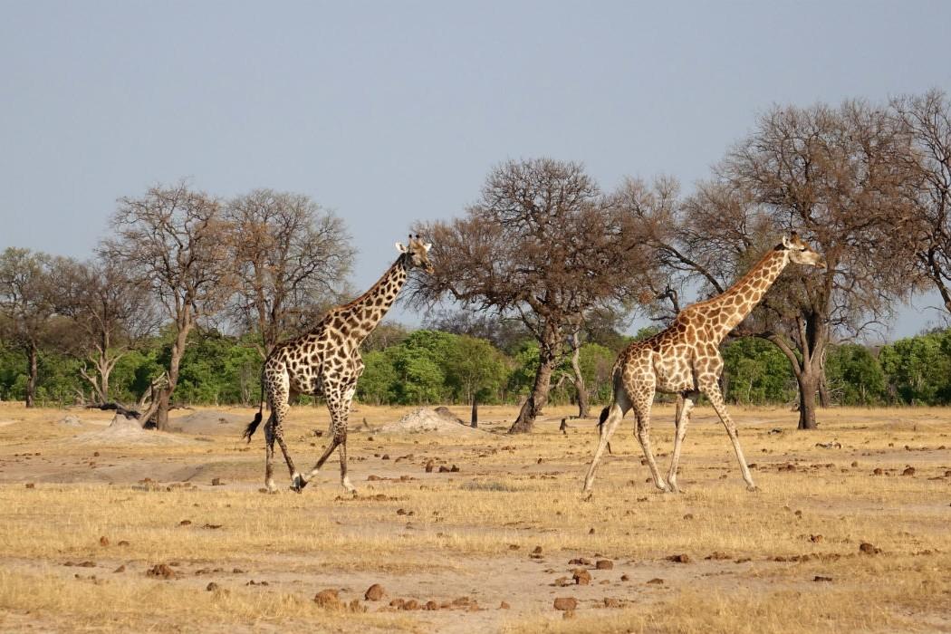 Zimbabwe Hangwe Little Makalolo 13