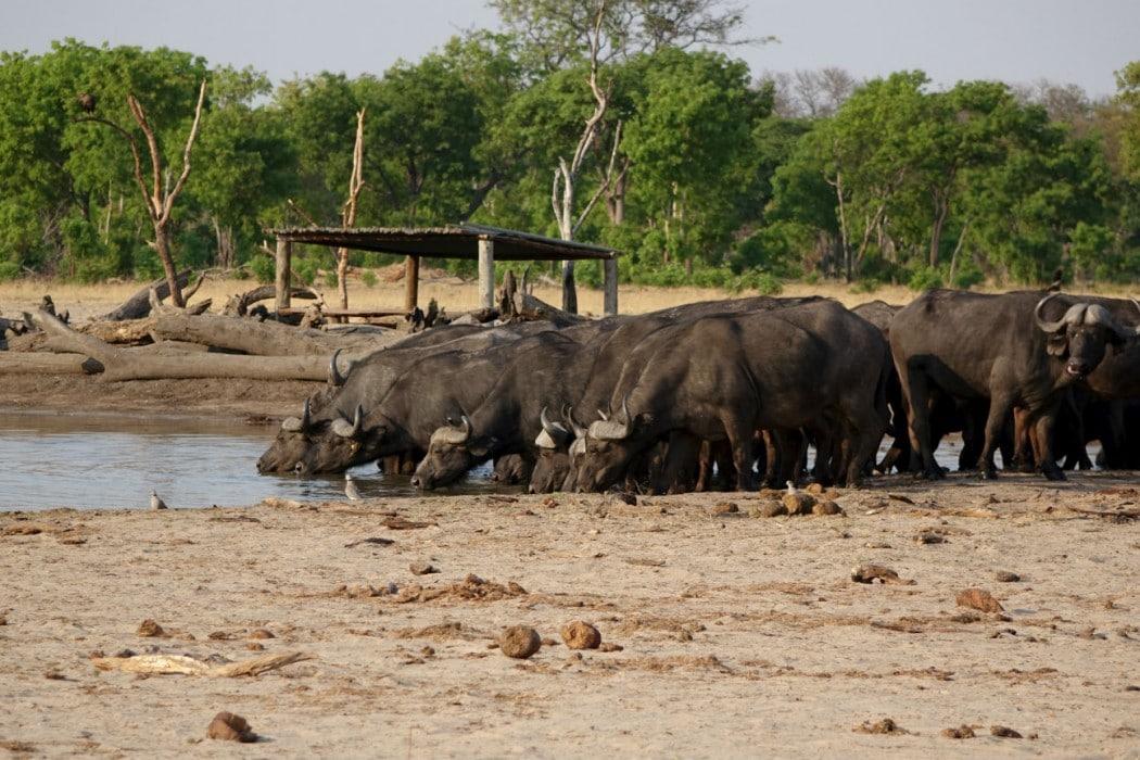Zimbabwe Hangwe Little Makalolo 7