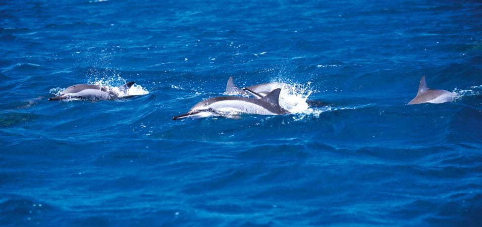 Ile Maurice - nager avec les dauphins