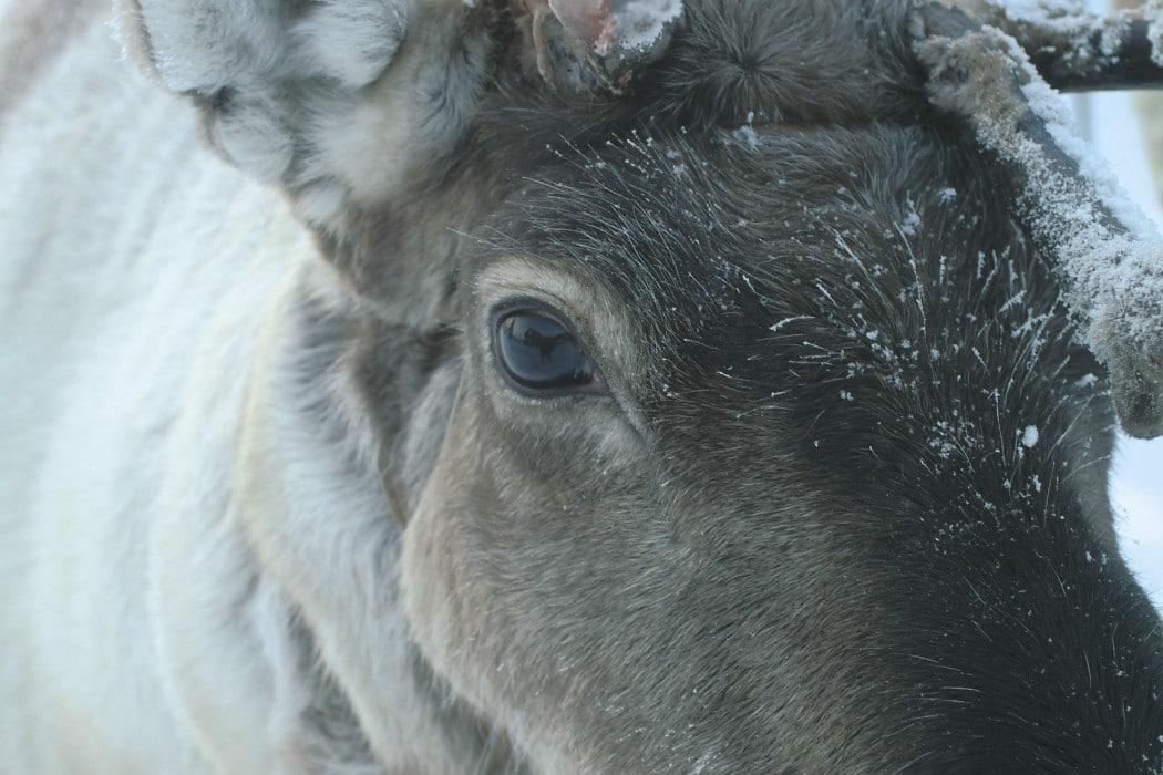 glamping-laponie-finlande-napapiiri-camp-reindeer
