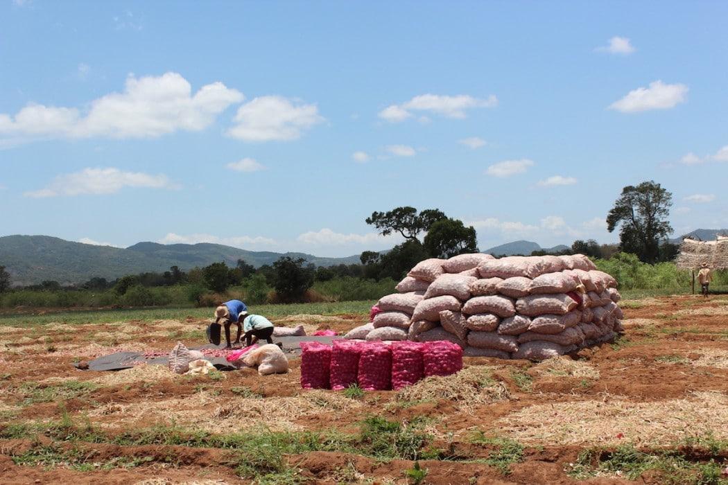 Mon Plus Beau Voyage au Sri Lanka gayangi-wirasinha-sri-lanka-onion-cultivations-near-sigiriya