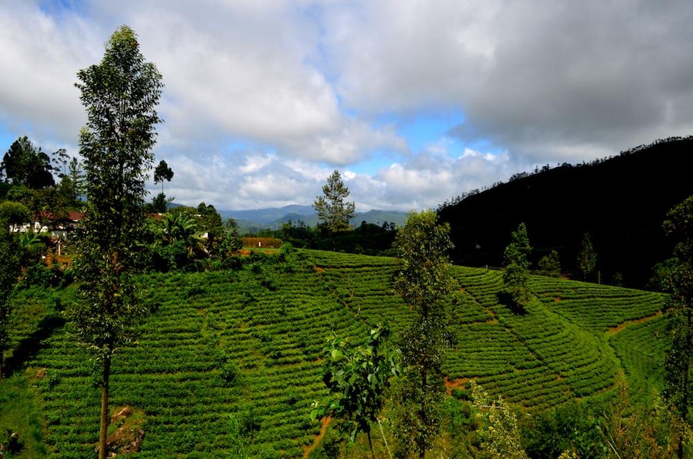 Mon Plus Beau Voyage au Sri Lanka ushani-abeywickrama-sri-lanka-tea-plantations-in-hatton
