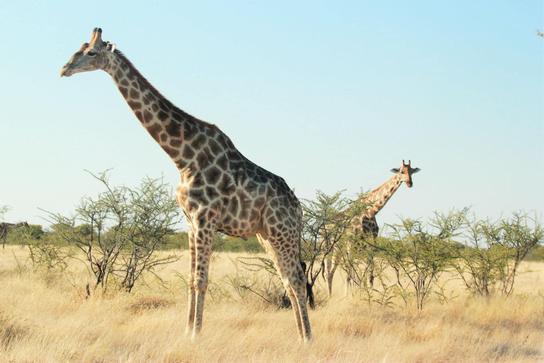 la girafe qui vole des adresses secr tes en afrique. Black Bedroom Furniture Sets. Home Design Ideas