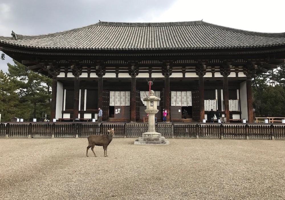 Biches de Nara au Japon.