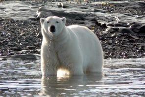 Ours polaires et glaciers sur Baffin Island