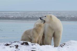 Rencontre exceptionnelle avec des ours polaires dans la Hudson Bay en 2018