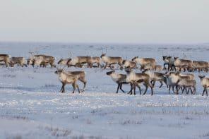 Ours polaires, caribous, et autres merveilles de l'Arctique en privé!